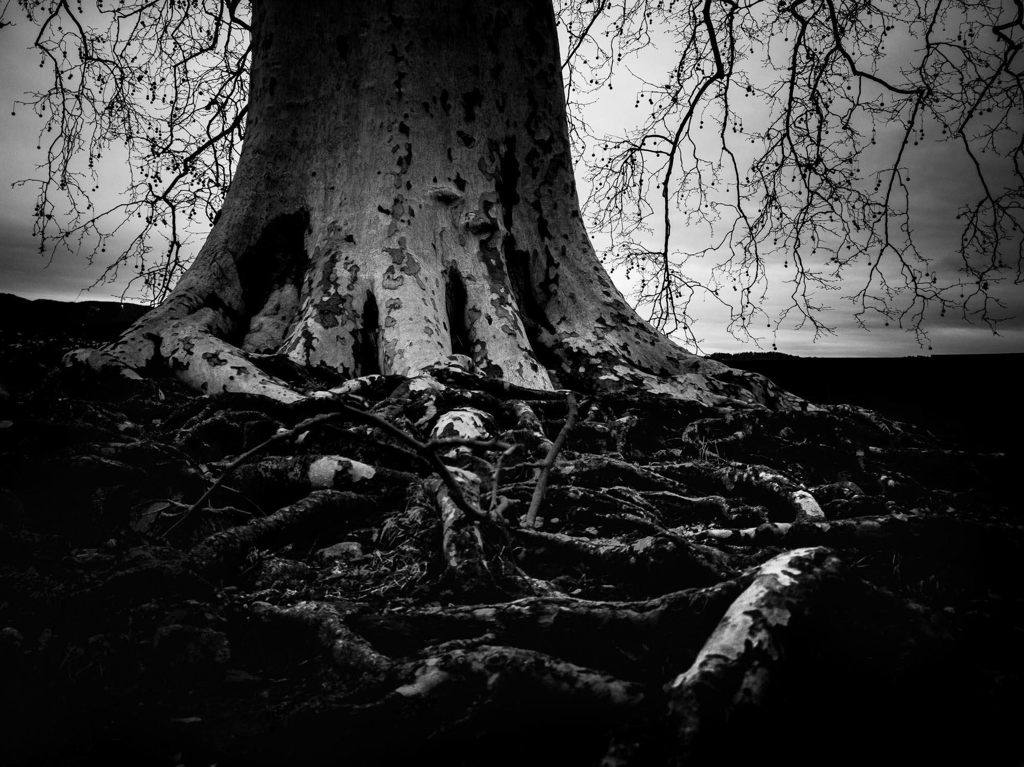 schneehaesli / Roots