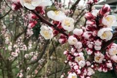 Lumivers / Frühling