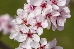 sonjahwolf / Blutpflaumenblüten