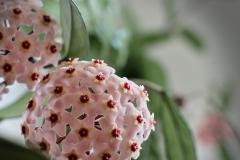 ylz / die Wachsblume blüht