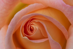 peter / Rose