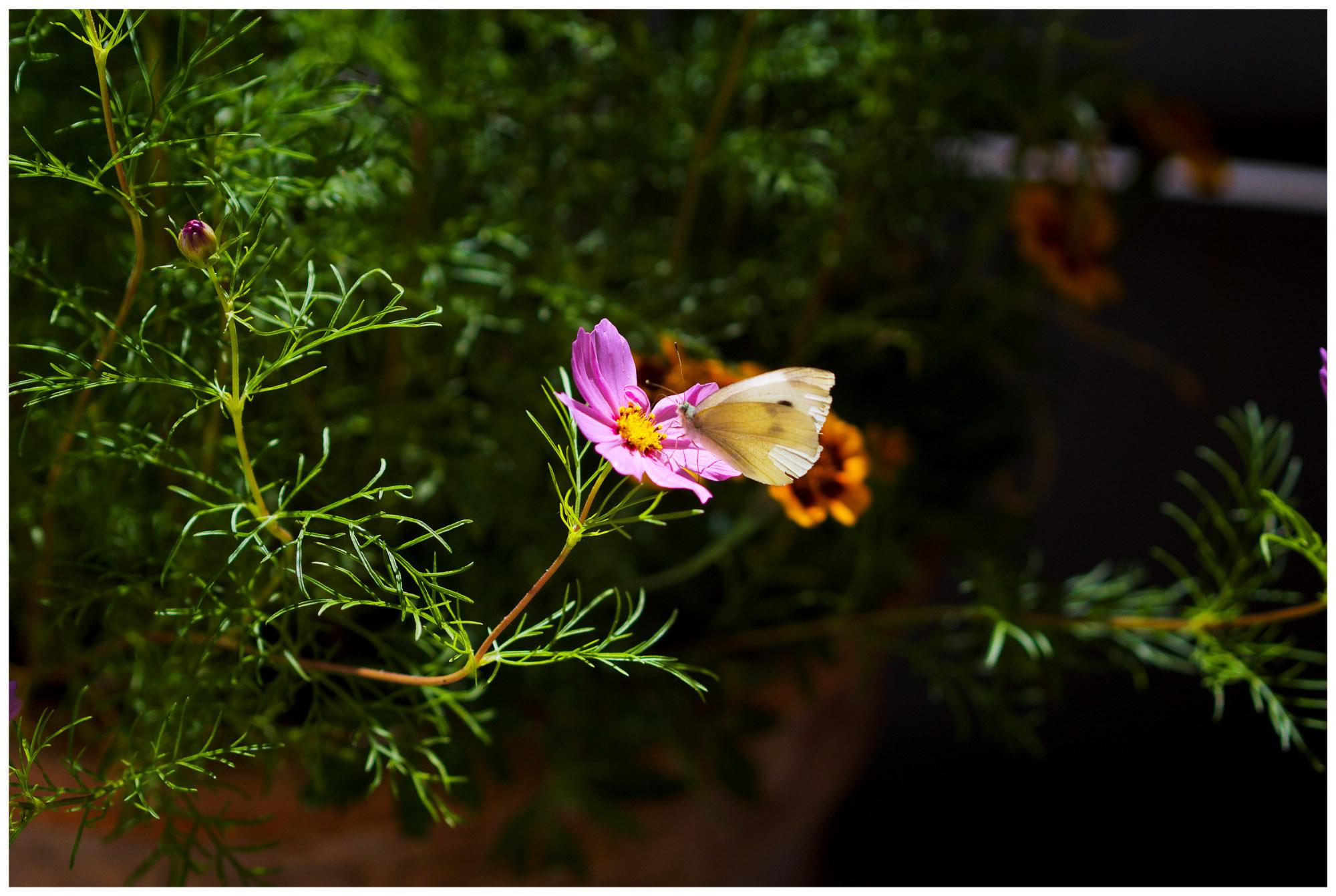 chris_m / Schmetterlingsbesuch