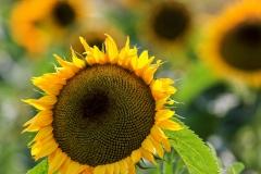peter / Sonnenblumen