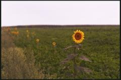 chris_m / Sonnenblume