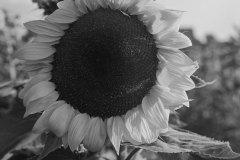 Cthulhusnet / Sonnenblume