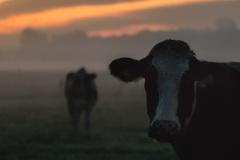 dabu / Kühe im Morgenlicht