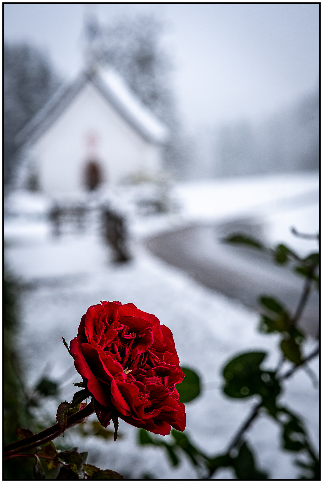 UnclePete / Erster Schneefall - Letzte Rose