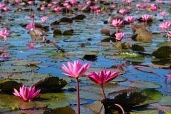 ein etwas anderer Rosengarten - Red Lotus Lake Thailand