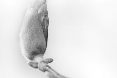 peter / Magnolie