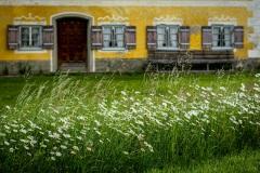Margariten vor Bauernhaus in Oberbayern