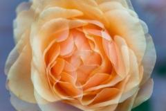 Rose in Nachbarsgarten