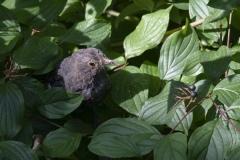 Der Amsel lüstet es nach des Hartriegels Frucht