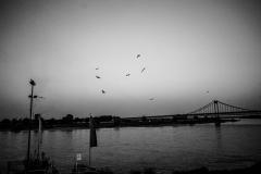 Vögel über dem Rhein