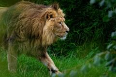 Löwe im Dickicht