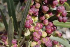 Heimische Oliven