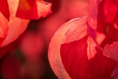 Rot - Hartriegel im Herbst
