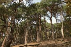 Pinienwald im Taunus