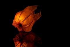 Orange Glow - Physalis