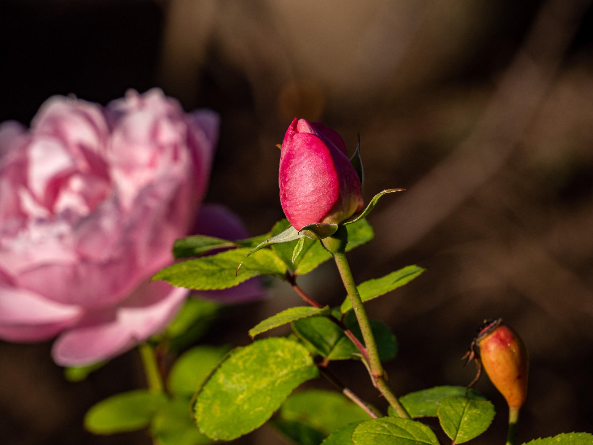 3 Stadien einer Rose