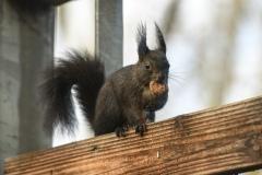 Mühelos ernährt sich das Eichhörnchen