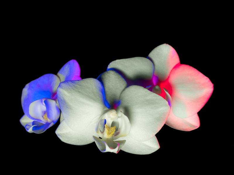 Französische Orchideen