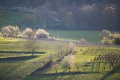 Obstbaumblüte am Schönberg