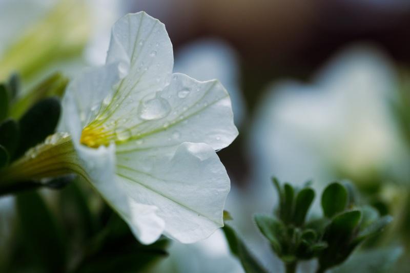Blume im Garten nach dem Regen