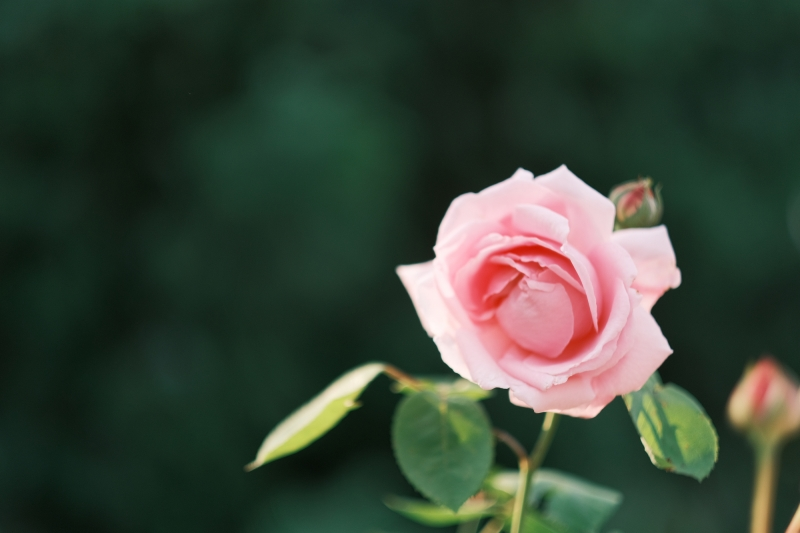 Roses are …?