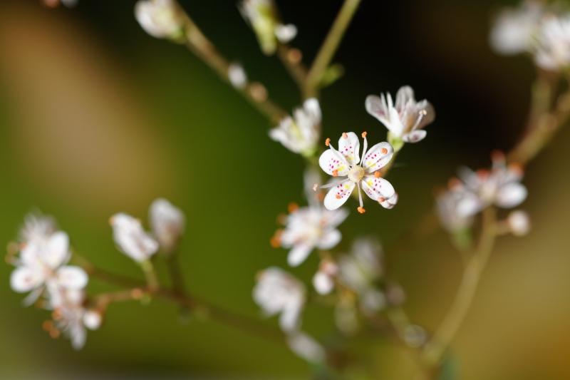 Porzellanblümchen (Saxifraga x urbium)