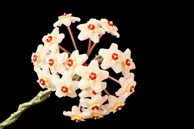 fleischige Wachsblume