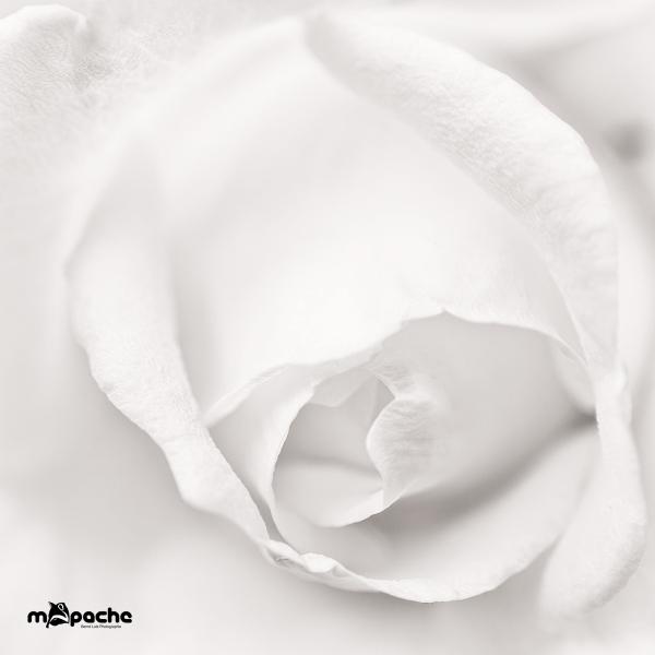 Eine Rose ist eine Rose ist eine ...