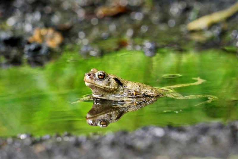 Die Erdkröte im Spiegel