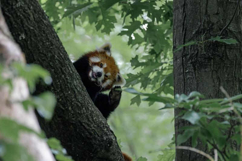 Roter Panda im Baum