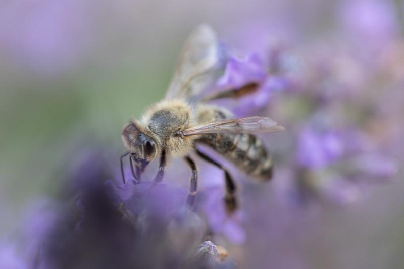 Test-Biene auf Lavendel