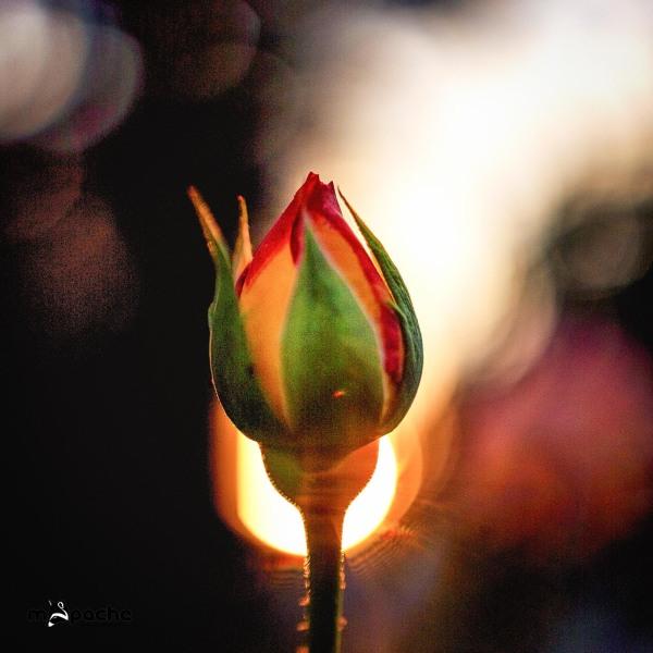 Eine Rose im Sonnenuntergang
