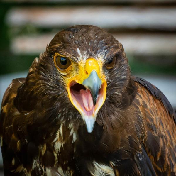 """Harris-Hawk """"Felix"""""""