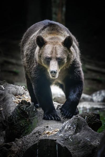 Bärenbegegnung in den Karpaten