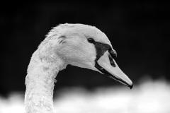 Schwan-Weiß-Foto