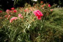 Rose im Park