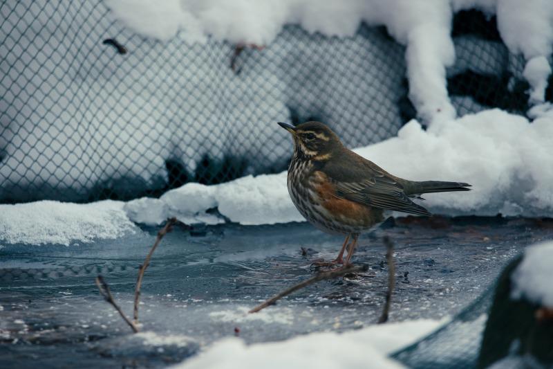 Rotdrossel auf dem gefrorenen Teich