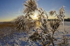 Frostblume
