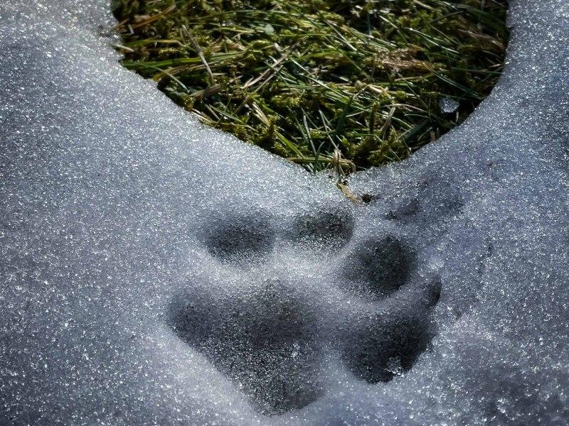 Pfote im Schnee