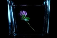 Blume im Wasser