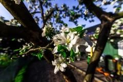dabu / Apfel