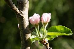 dagmar/ Apfelblüte