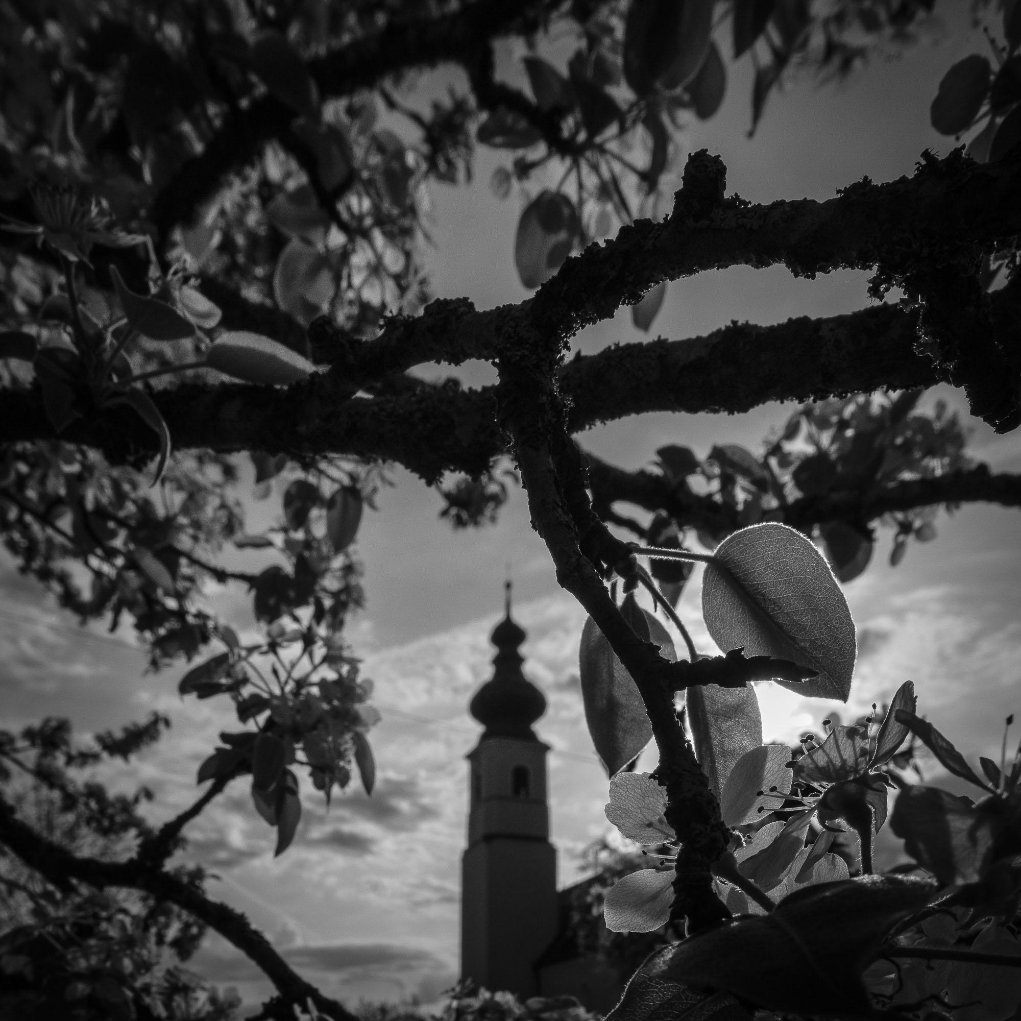 UnclePete / Morgensonne im Apfelbaum