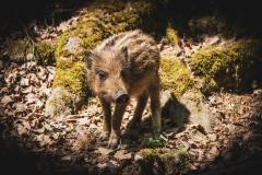 Basti / Samstagsschwein
