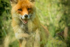 schneehaesli / Fuchs