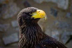 sonjahwolf / Riesenseeadler