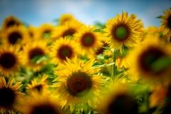 schneehaesli / Die eine Sonnenblume